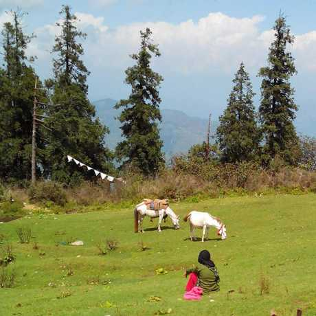 Green grass field and ransuli trees behind Surkanda Devi temple situated on Mussoorie Chamba Tehri Road.