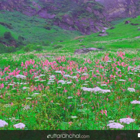 flowers during monsoon season in Valley of flowers.
