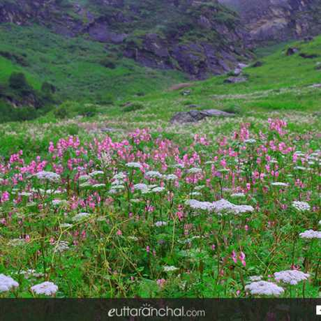flower meadows at valley of flowers national park